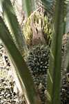 Oil palm fruit -- borneo_6579