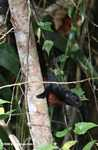 Bornean Black Flying Squirrel (Aeromys tephromelas) with a brownish-red chest