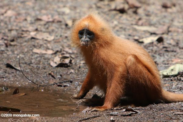Red Leaf-monkey (Presbytis rubicunda)