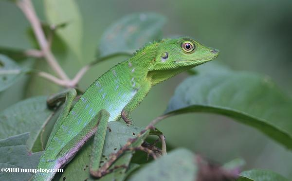 Green Crested Lizard high in the rainforest canopy