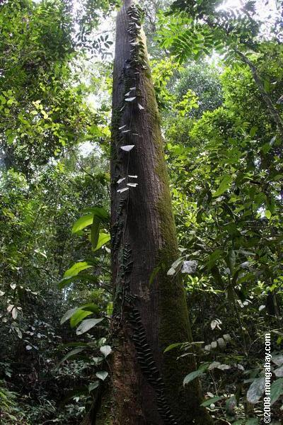 Rainforest tree in Sabah, Malaysia