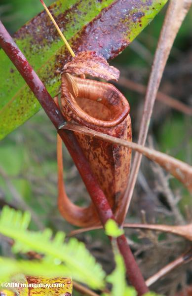 Dying (couleur rouge) Nepenthes mirabilis morse