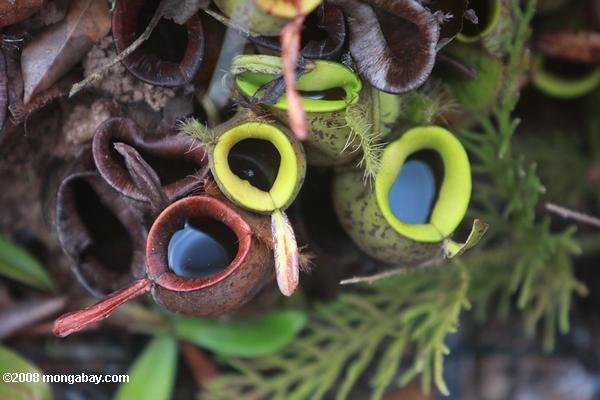 Nepenthes rafflesiana pitcher plants