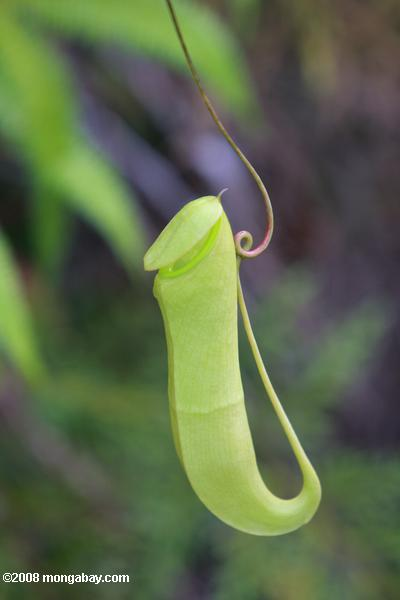 nepenthes Mirabilis кувшин завод