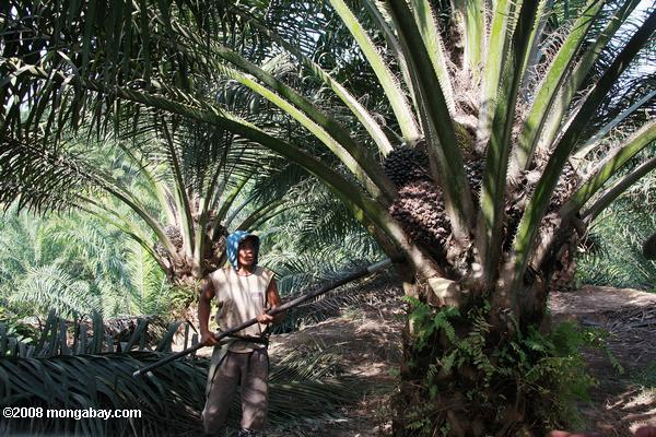 Oil palm plantation worker in Malaysia.