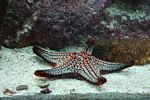 Red and turquoise starfish