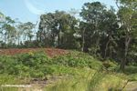 Forest clearing near Colon; Panama