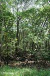 Dry mangrove forest