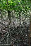 Rhizophora mangle mangroves in Panama