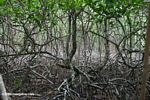 Red mangroves (Rhizophora mangle) in Panama