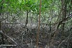 Mangrove forest of Galeta Point