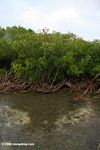 Red mangroves and sea grass beds at Galeta