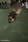 Atlantic Hawksbill Sea Turtle (Eretmochelys imbricata) [pan01-0634]