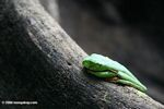 Red-eyed tree frog (Agalychnis spurrelli) sleeping on the buttress root of a rainforest tree
