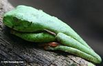 Sleeping gliding leaf frog