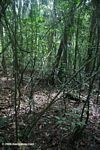 Tangled lianas in the tropical forest of BCI
