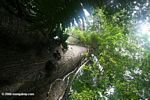 Looking up the trunk of a giant Ceiba tree