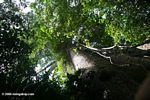 Looking up the trunk of an emergent Ceiba tree