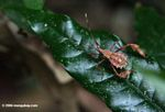 Brown insect (zoomed)