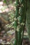 Cauliflorous flowers emerging from the trunk of a rainforest tree