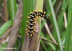 Black caterpillar with off-white stripes and yellow spines