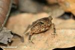 Small leaf toad (Bufo typhonius alatus) in Soberania National Park