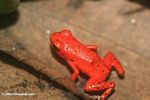 Red form of Dendrobates pumilio