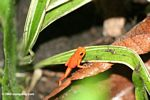 Panamanian red frog