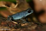 Blueberry poison arrow frog (Dendrobates pumilio)