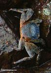Crab at Culebra Point Marine Education Center [pan01-1593]