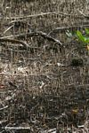 Manrgove seedlings and rhizomes in a mangrove forest on the Atlantic coast of Panama