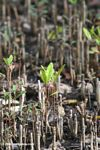 Manrgove seedlings
