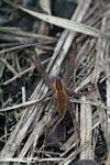 Orange; brown; and gray spider