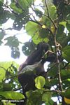 Mantled Howler Monkey feeding on leaves in the canopy of Barro Colorado Island