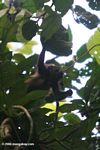 Mantled Howler Monkey (Alouatta palliata) in Barro Colorado Island