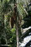 Black oil palm tree (local name: Chunga) (Astrocaryum standleyanum)