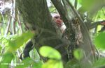 White-throated Capuchin Monkey (Cebus capuchinus)