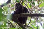 Adult mantled howler monkey
