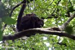 Female Mantled Howler Monkey (Alouatta palliata) with a baby on her back