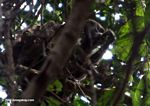 Mantled Howler Monkey (Alouatta palliata) feeding in the rainforest canopy