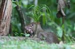 Central American Agouti eating a fallen fruit<br>(pan02-1824)