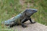 Spiny-tailed Iguana (Ctenosaura similis) in Panama
