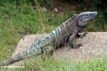 Black Iguana (Ctenosaura similis) with turquoise markings