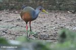 Gray necked wood rail (Aramides cajanea)