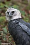 Harpy Eagle (Harpia harpyja) at Summit Park
