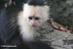 Juvenile White-throated Capuchin Monkey (Cebus capuchinus)