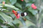 Heliconius butterfly feeding on a hot lips flower