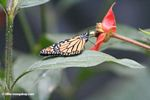 Monarch butterfly; Danaus plexippus; feeding on a hot lips flower