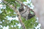 Panamanian Three-toed Sloth (Bradypus variegatus)<br>(pan02-2095)