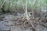 Mangroves on Bocas del Toro; Colon Island
